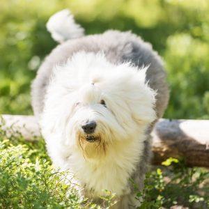 Osallistuva koira